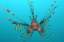 Volitan Lion Fish
