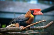 Luzon Rufous Hornbill
