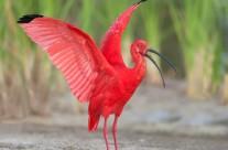 Scarlet İbis