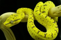 Juvenile Green Tree Python