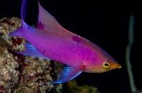 Purple Queen Anthias