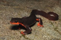 Red Belly Salamander